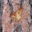 Damage on a tree trunk done by a bark beetle